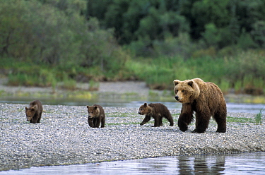 Kodiak Bear (Ursus arctos middendorffi) mother and five month old cubs, Katmai National Park, Alaska
