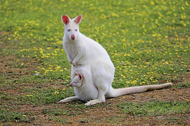 Red-necked Wallaby (Macropus rufogriseus) albino mother with joey, Cudlee Creek Conservation Park, South Australia, Australia