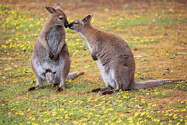 Red-necked Wallaby (Macropus rufogriseus) pair smelling each other, Cudlee Creek Conservation Park, South Australia, Australia
