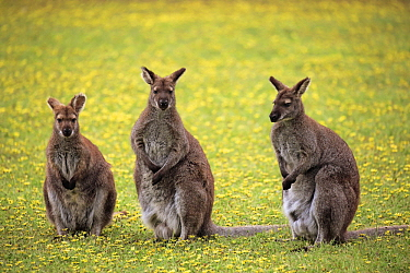 Red-necked Wallaby (Macropus rufogriseus) group, Cudlee Creek Conservation Park, South Australia, Australia