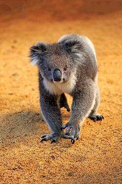 Koala (Phascolarctos cinereus), Parndana, Kangaroo Island, South Australia, Australia