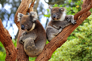 Koala (Phascolarctos cinereus) mother with joey in tree, Parndana, Kangaroo Island, South Australia, Australia