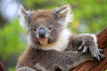 Koala (Phascolarctos cinereus) in tree, Parndana, Kangaroo Island, South Australia, Australia