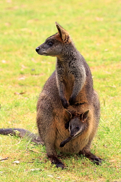 Swamp Wallaby (Wallabia bicolor) mother with joey, Mount Lofty, South Australia, Australia