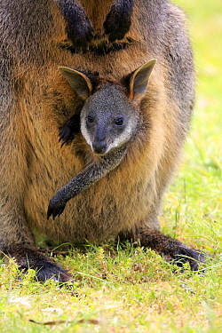 Swamp Wallaby (Wallabia bicolor)  mother and joey, Mount Lofty, South Australia, Australia