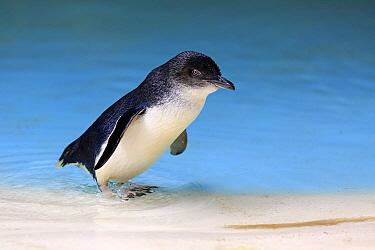 Little Blue Penguin (Eudyptula minor), Kangaroo Island, South Australia, Australia