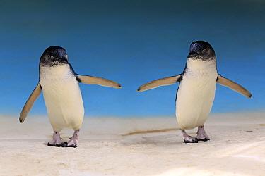 Little Blue Penguin (Eudyptula minor) pair, Kangaroo Island, South Australia, Australia, digital composite