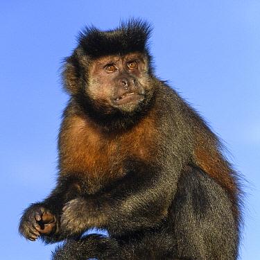 Brown Capuchin (Cebus apella), Iguacu Falls, Argentina