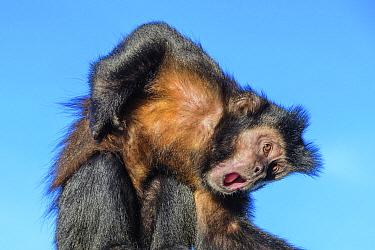 Brown Capuchin (Cebus apella) scratching itself, Iguacu Falls, Argentina
