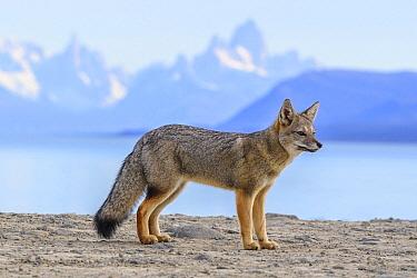 Pampas Fox (Lycalopex gymnocercus), Patagonia, Argentina