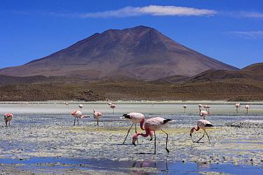 Andean Flamingo (Phoenicopterus andinus) flock foraging, Laguna Hedionda, Bolivia