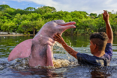 Amazon River Dolphin (Inia geoffrensis) being fed by villager, Rio Negro, Amazon, Brazil