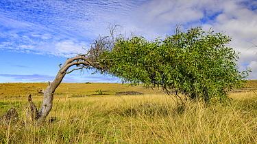 Windswept tree, Easter Island, Chile