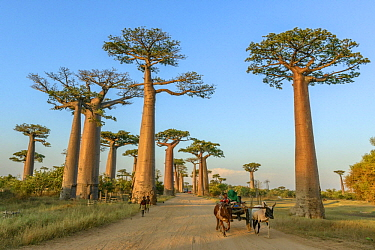 Grandidier's Baobab (Adansonia grandidieri) trees along road used by locals, Avenue of the Baobabs, Madagascar