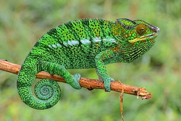 Panther Chameleon (Chamaeleo pardalis), Lokobe Nature Special Reserve, Nosy Be, Madagascar