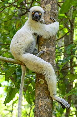 Von der Decken's Sifaka (Propithecus deckenii) mother and young in tree, Tsingy de Bemaraha National Park, Madagascar