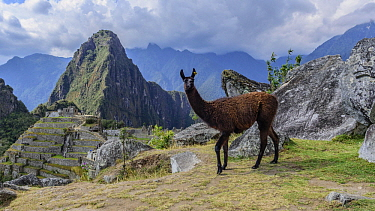 Llama (Lama glama) and Incan ruins, Machu Picchu, Peru