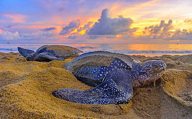 Leatherback Sea Turtle (Dermochelys coriacea) females laying eggs on beach at sunset, Trinidad and Tobago, Caribbean