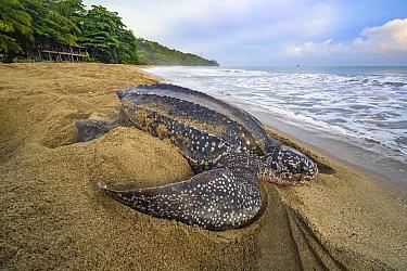 Leatherback Sea Turtle (Dermochelys coriacea) female returning to sea after laying eggs on beach, Trinidad and Tobago, Caribbean