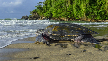 Leatherback Sea Turtle (Dermochelys coriacea) female returning to sea after laying eggs on beach, Trinidad and Tobago, Caribbean