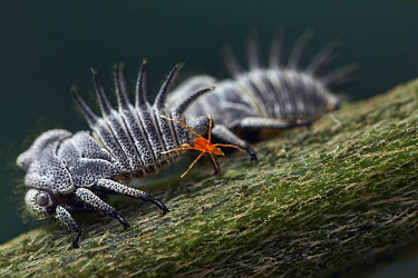 Treehopper (Membracidae) group with mite stealing honeydew, Yotoco, Colombia