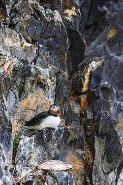 Atlantic Puffin (Fratercula arctica) on cliff, Kross Fjord, Spitsbergen, Svalbard, Norway