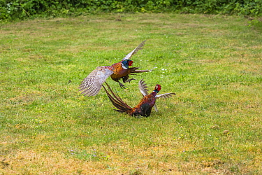 Ring-necked Pheasant (Phasianus colchicus) males in territorial fight, Texel, Netherlands