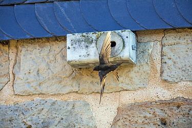 Common Swift (Apus apus) flying near nest box, Hesse, Germany