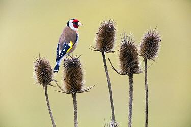 European Goldfinch (Carduelis carduelis) on Teasel (Dipsacus sp) thistle in winter, Hesse, Germany