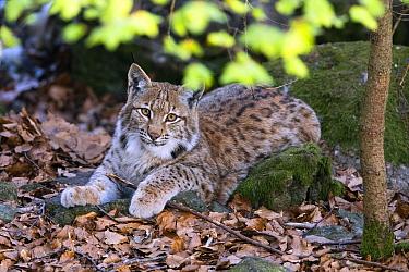 Eurasian Lynx (Lynx lynx) juvenile, Bavarian Forest, Bavaria, Germany