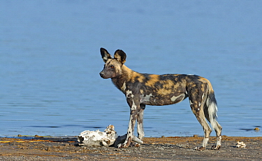 African Wild Dog (Lycaon pictus) with old Blue Wildebeest (Connochaetes taurinus) skull, Lake Masek, Serengeti National Park, Tanzania