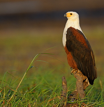 African Fish Eagle (Haliaeetus vocifer), Chobe River, Botswana