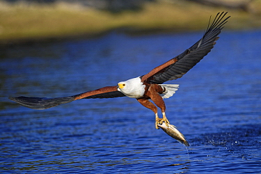 African Fish Eagle (Haliaeetus vocifer) fishing, Chobe River, Botswana