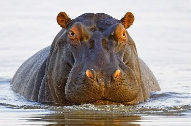 Hippopotamus (Hippopotamus amphibius), Mkhuze Game Reserve, KwaZulu-Natal, South Africa