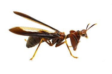 Mantis Fly (Climaciella brunnea), Solon Dixon Forestry Education Center, Alabama