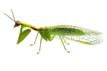 Green Mantisfly (Zeugomantispa minuta), Solon Dixon Forestry Education Center, Alabama