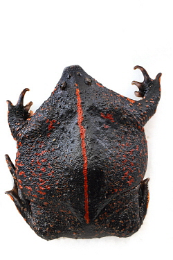 Mexican Burrowing Toad (Rhinophrynus dorsalis), Belize