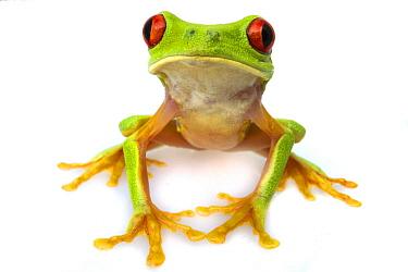 Red-eyed Tree Frog (Agalychnis callidryas), Belize