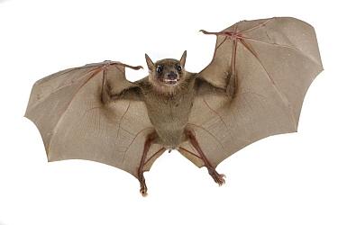 Egyptian Fruit Bat (Rousettus aegyptiacus) flying, Gorongosa National Park, Mozambique