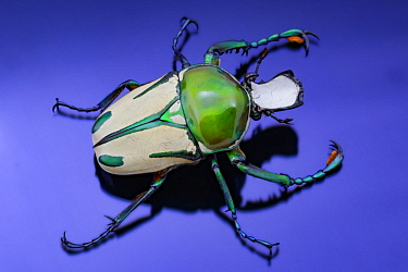 Regal Fruit Chafer (Taurhina splendens), Gorongosa National Park, Mozambique