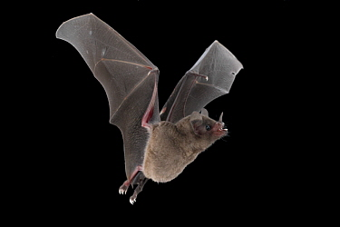 Commissaris's Long-tongued Bat (Glossophaga commissarisi) flying, Costa Rica