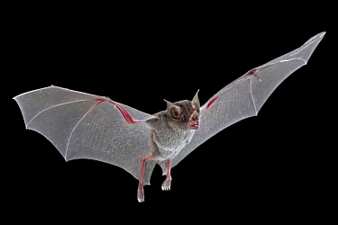 Niceforo's Big-eared Bat (Trinycteris nicefori) flying, Costa Rica