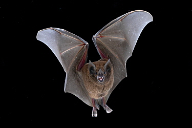 Chestnut Short-tailed Bat (Carollia castanea) flying, La Selva Biological Reserve, Costa Rica
