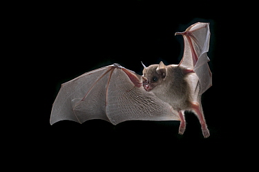 Highland Yellow-shouldered Bat (Sturnira ludovici) flying, Costa Rica