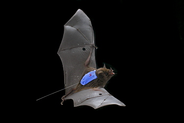Pallas' Long-tongued Bat (Glossophaga soricina) flying with radio transmitter, La Selva Biological Reserve, Costa Rica