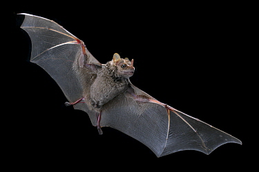 Hairy Big-eyed Bat (Chiroderma villosum) flying, Costa Rica