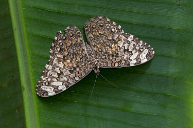 Gray Cracker (Hamadryas februa) butterfly, Monteverde Cloud Forest Reserve, Costa Rica