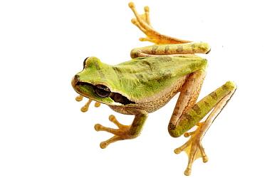 Tarraco Treefrog (Smilisca phaeota), Costa Rica