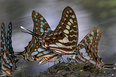 Large Striped Swordtail (Graphium antheus) butterflies, Gorongosa National Park, Mozambique