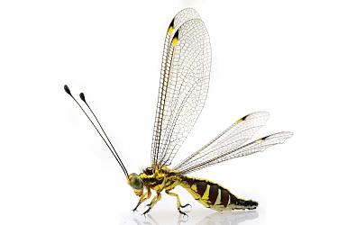 Owl Fly (Ascalaphidae), Gorongosa National Park, Mozambique